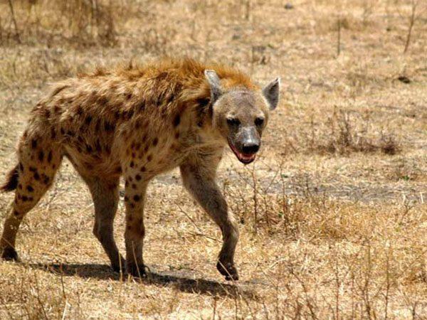 Африканская гиена