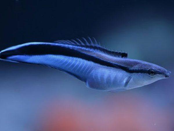 Рыба губан-чистильщик