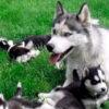 20 гордых собак-мам со своим многочисленным потомством