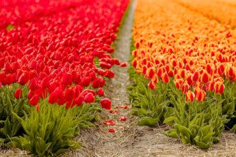 Тюльпановые места: топ-8 самых больших клумб тюльпанов