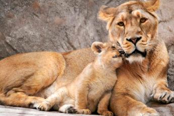 Мамы — такие мамы… Умиляющие фотографии мам животных с их детенышами