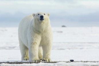 9 снимков о том, какого на самом деле цвета белые медведи