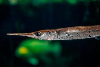 Где можно встретить удивительных рыб с носом-иглой, и почему они опаснее акул